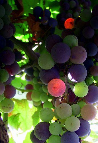 Horvátország szőlő