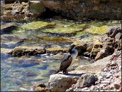 Mallorca, kormorán
